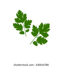 Fresh green parsley on a white background. Vector illustration. Green parsley close-ap.