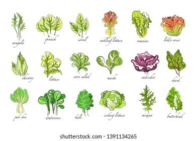 Fresh herbs set, arugula, spinach, sorrel, chicory,lettuce, corn, bok choy, salad, watercress, kale plants hand drawn vector Illustrations on a white background