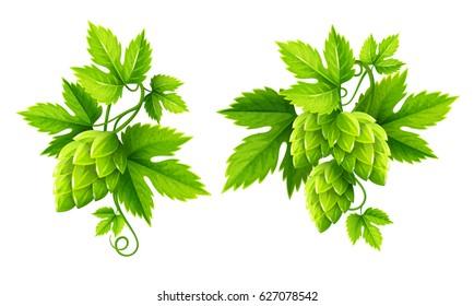 Fresh hop plants with cones and green leaves, isolated on white background. Organic natural malt ingredient for craft beer alcohol drink production. Isolated Hops Plant set Eps10 vector illustration.