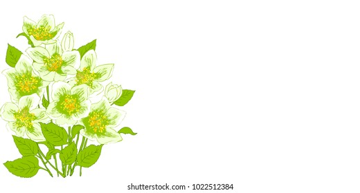 Fresh jasmine flowers on a white background with space for text. Card with the spring flowers. Vector illustration of graphi? jasmine flowers.