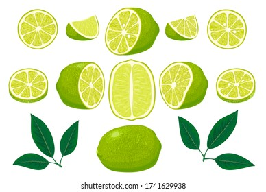 Fresh limes with leaves. Set of whole, cut in half, sliced on pieces fresh limes and leaves, lime peel. Collection of different lime views. Hand drawn vector illustration isolated on white background