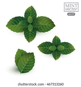 fresh mint leaves isolated on white background. Vector illustration.