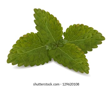 Fresh mint leaves on a white vector