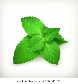 Fresh mint leaves, vector illustration