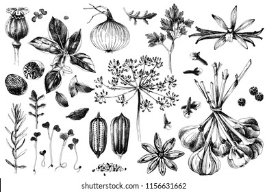 Fresh organic hand drawn herbs and spices set. Vector illustration in vintage style