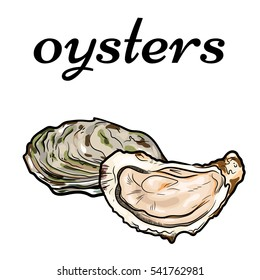 fresh oysters, luxury seafood. Vector illustration of oysters isolated on white background.