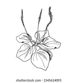 Fresh plantain leaves, rib grass, Hand drawn engraving illustration, minimalism style. Plantago Major