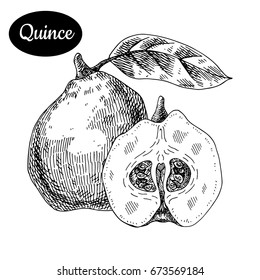 Fresh quince. Hand drawn sketch style tropical summer fruit vector illustration. Isolated drawing on white background. Vitamin and healthy fruit eco food. Farm market produce.