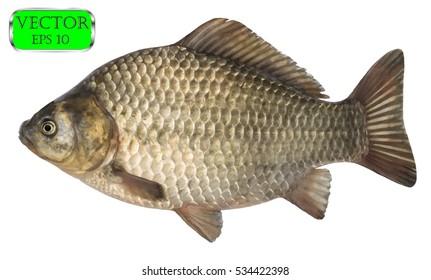 Fresh raw fish crucian carp isolated on white background. Vector illustration