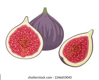 Fresh ripe delicious juicy figs whole and cut in half and quarter. Fig isolated on white background. Vector hand drawn illustration.