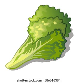 Fresh ripe leaves of Chinese cabbage isolated on a white background. Vegetables is a healthy food. Cartoon vector close-up illustration.