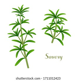 Fresh single sprigs of summer savory isolated on white background. Vector illustration