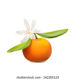 Fresh tangerine fruit with green leaves and blossom. Photo-realistic vector illustration