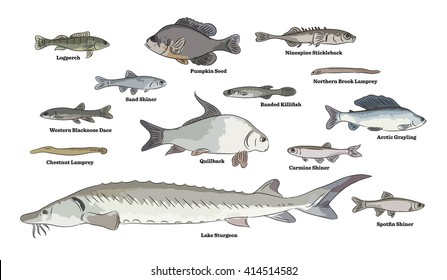 Freshwater fish illustrations. Johnny Darter, Bluegill, Yellow Perch, Fathead Minnow, Round Whitefish, Goldfish, Walleye and Shiner fishes.