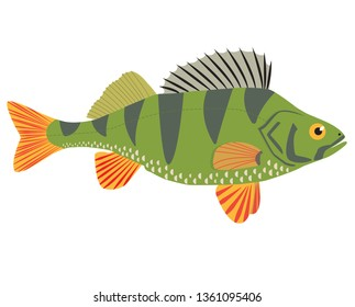 The freshwater fish, the perch (Perca fluviatilis), is isolated on white background