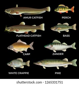 Freshwater fish species. Pike, zander, perch, bass, carp, white crappie, catfish. Vector illustration isolated on white background.