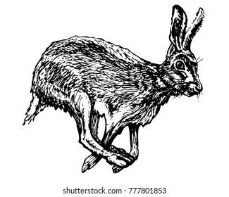 Frightened hare running. Vector ink illustration. Black and white jackrabbit image