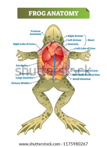 Frog Anatomy Labeled Vector Illustration Scheme Stock Vector