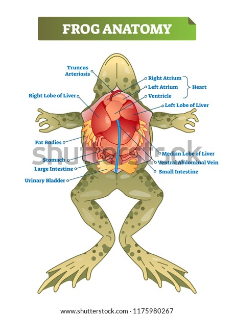 frog anatomy diagram labeled frog anatomy labeled vector illustration scheme stock vector  frog anatomy labeled vector
