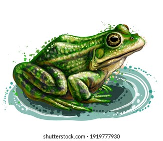 Frog. Color, graphic, vector portrait of a frog on a white background in watercolor style.  Separate layer. Digital vector drawing