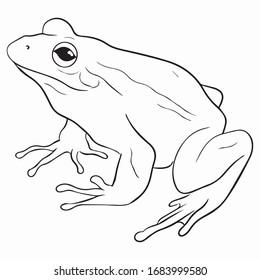 frog graphic design, vector sketch, art illustration of an amphibian