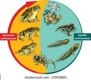 Frog life cycle.
