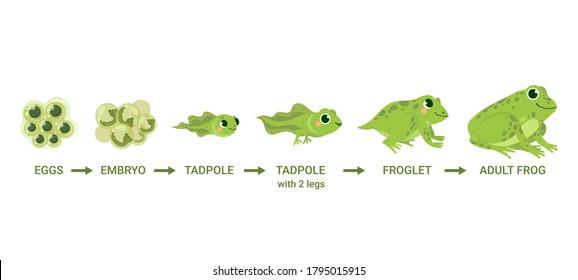 Frog life cycle. Egg masses, tadpole, froglet, frog metamorphosis. Wild water animals, evolution development toads cartoon vector diagram. Illustration amphibian, frog development