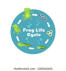 Frog life cycle. From eggs to tadpole and adult frog. Kids biology educational vector illustration. Cycle amphibian biology, animal toad growth
