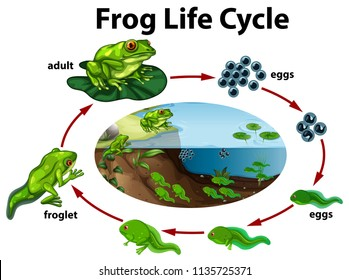 A frog life cycle illustration