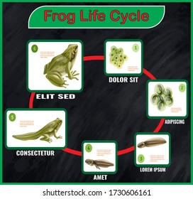 Frog life cycle infographics vector.The life cycle of a frog vector