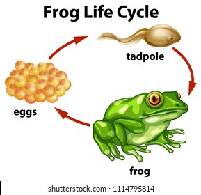 A Frog Life Cycle on White Background illustration
