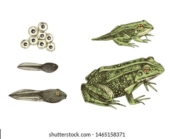 Frog metamorphosis. 5 stages of frogs life cycle. Hand drawn colorful vector illustration