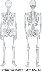 Front and back views of skeleton isolated on white background illustration