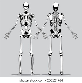 Front view of the human skeleton images stock photos vectors front and rear view of a human skeleton male on a gray background ccuart Image collections