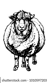 Front view of woolly sheep. Vector ink drawing of livestock animal on white background