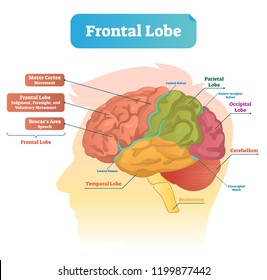 Frontal lobe vector illustration. Labeled diagram with brain part structure. Scheme with motor cortex, Brocas area, parietal, occipital lobe and cerebellum locations.