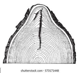 Frost cracks of an oak trunk, vintage engraved illustration.