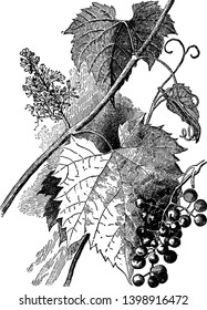 The Frost Grape (Vitis vulpina) is one of several native wild grapes that can be found in Illinois, vintage line drawing or engraving illustration.