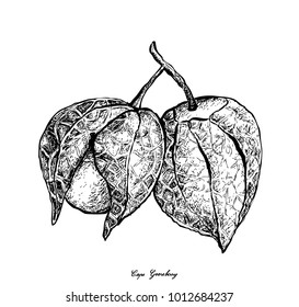 Fruit, Illustration Hand Drawn Sketch of Fresh Cape Gooseberry, Goldenberry or Physalis Peruviana Isolated on White Background.