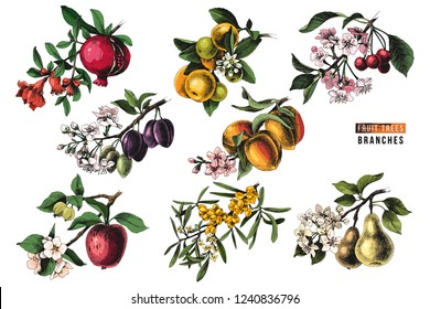 Fruit trees branches - pomegranate, mandarine, cherry, plum, peach, apple, sea buckthorn and pear - with flowers and ripe fruits. Vector illustration