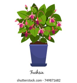 Fuchsia plant in pot isolated on the white background, vector illustration