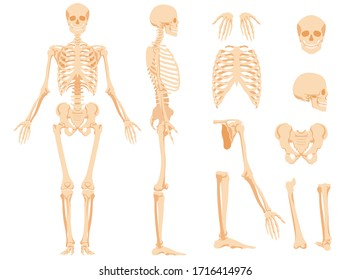 The full anatomical skeleton of a person and individual bones. Performed as an art illustration in a scientific medical style. The main view and side view, also separately the skull, pelvic bone