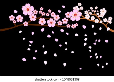 Full bloom cherry blossoms and blowing/flying petals isolated on black background. Beautiful pink Sakura flowers on brown branches with bottom copy-space for add text. Vector illustration, EPS10.