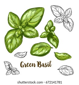 Full color realistic sketch illustration of green basil, vector illustration