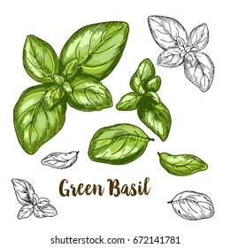 Full color realistic sketch illustration of green basil, vector illustration