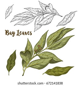 Full color realistic sketch illustration of bay leaves, vector illustration