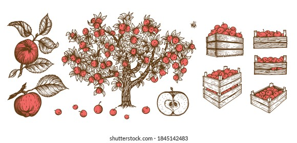 Full crate wooden crate of fresh apple. wooden box of apples. Farm harvesting Apple tree. Vintage engraved style of harvest storage. Vector illustration.