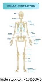 Full human skeleton anatomical model. Medical vector illustration poster, educational information. Head, ribcage, arms, hips, legs and other main bone structure.