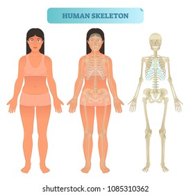 Full human skeleton anatomical model. Medical vector illustration poster with female. Educational information. Head, ribcage, arms, hips, legs and other main bone structure.