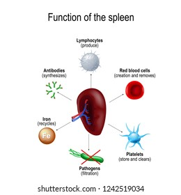 Function of the spleen Red blood cells creations and removes old erythrocytes, produce of lymphocytes, synthesizes of antibodies, store of Platelets and clears old thrombocytes, Pathogens filtration